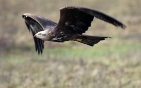 Картинка полет, фон, птица, орел, крылья