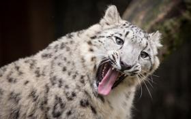 Обои язык, кошка, пасть, ирбис, снежный барс, зевает