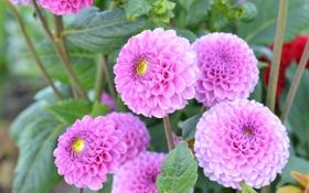 Обои розовый, ветка, лепестки, цветение, георгин, цветы.бутоны