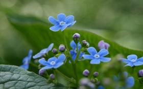 Картинка весна, трава, голубые, зелень, растения, незабудки, макро
