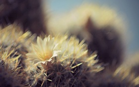 Обои белый, цветок, колючий, блики, кактус