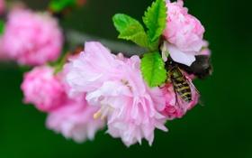 Обои макро, цветы, ветка, насекомое, цветение, журчалка