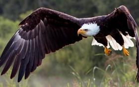 Обои птица, крылья, хищник, полёт, ястреб, Белоголовый орлан