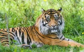 Картинка трава, тигр, отдых, ©Tambako The Jaguar, суматранский