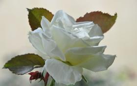 Картинка листья, фон, роза, лепестки, белая