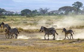 Обои пейзаж, пыль, саванна, Африка, страус, кусты, зебры