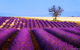 Картинка поле, цветы, дерево, Франция, лаванда, плантация