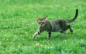 Картинка кот, полосатый, трава, взгляд