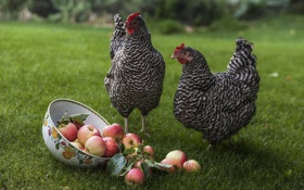 Картинка яблоки, луг, миска, куры, курочки рябы