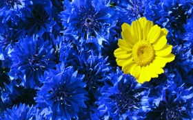 Обои синий, желтый, контраст, васильки