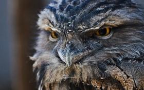 Картинка взгляд, сова, перья, клюв