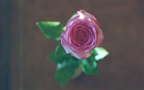 Обои роза, цветок, розовая