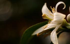 Картинка белый, цветок, макро, лепестки