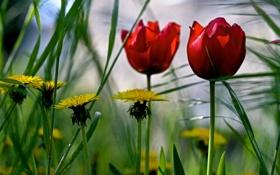 Обои поле, трава, одуванчик, тюльпан, луг