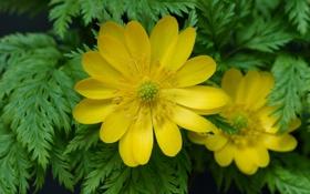 Картинка зелень, листья, цветы, желтые, адонис