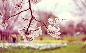 Обои весна, сакура, фото, природа, дерево, цветы