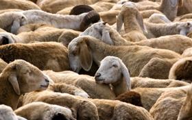 Обои природа, стадо, овцы
