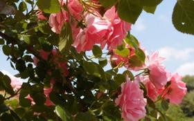 Картинка листья, розы, розовый куст