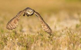 Обои природа, сова, птица, полёт