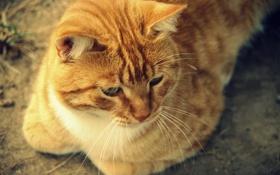 Картинка кот, усы, взгляд, рыжий, лежит, окрас, уши