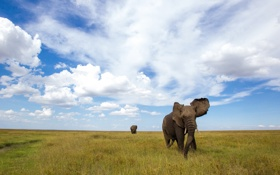 Обои природа, поле, слоны