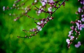 Обои капли, цветы, сакура, ветвь