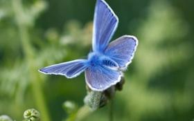 Обои синий, бабочка, мохнатая