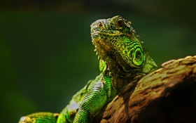 Картинка природа, ящерица, глаза, рептилия, камень