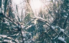 Картинка солнце, свет, снег, иголки, ветки, хвоя, сосна