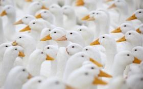 Картинка птицы, фон, гуси