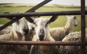 Картинка животное, смотрит, овечка, загон, овца
