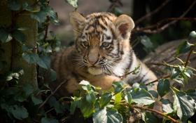 Обои кошка, листья, тигр, детёныш, котёнок, амурский