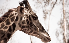 Обои макро, природа, жираф, animal, Giraffe