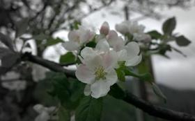 Картинка Цветы, весна, май, Яблоня, цветущее дерево, Абхазия