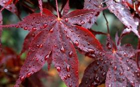 Обои осень, листья, капли, дождь, красные, прожилки