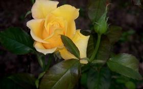 Обои листья, бутон, жёлтая роза
