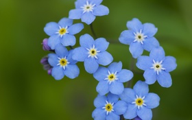 Картинка лето, цветы, голубые, полевые, незабудки