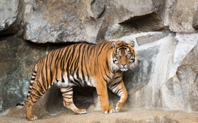 Обои кошка, тигр, камни, суматранский