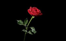 Картинка фон, роза, цвет