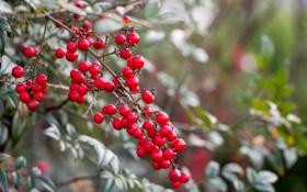 Обои ягоды, лес, ветка, макро, куст