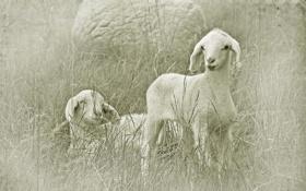 Обои поле, стиль, овцы