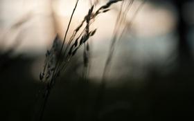 Обои поле, макро, природа, фото, тень, вечер, колосок