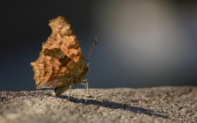 Обои бабочка, крылья, усики, фоон