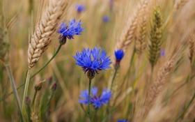 Обои пшеница, лето, цветы, синие, васельки