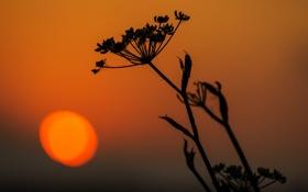Картинка солнце, закат, растение, стебель, силуэт
