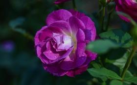 Обои капли, роза, лепестки, бутон