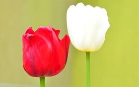 Обои макро, тюльпан, лепестки, стебель, пара