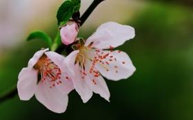 Обои бутон, листья, ветка, розовые, цветы