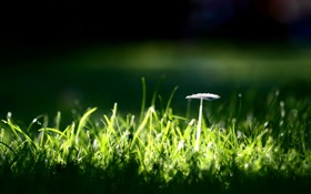 Картинка гриб, трава, green, зелень, обои, природа, фон