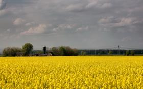 Картинка природа, пейзаж, поле, рапс